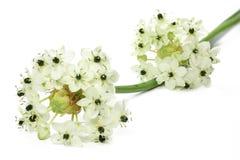 Star of Bethlehem flower. (Ornithogalum arabicum Stock Photo