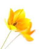 Star Of Bethlehem flower close-up. Star Of Bethlehem isolated on white background Royalty Free Stock Images