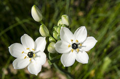 Star of Bethlehem flower Stock Photos