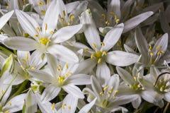 Star of Bethlehem flower Stock Image