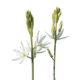 Star of Bethlehem flower or Ornithogalum ponticum isolated on white background Royalty Free Stock Photography