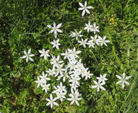 Star of Bethlehem flower Stock Images