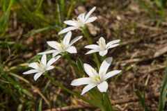 Star-of-bethlehem Royalty Free Stock Photos