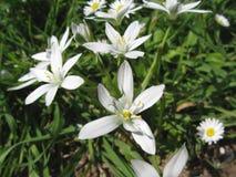 Star of Bethlehem flowers and daisies Stock Photos