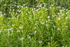 Madam Fate plant in nature garden. Star of Bethlehem, Madam Fate plant in nature garden stock images