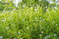 Madam Fate plant in nature garden. Star of Bethlehem, Madam Fate plant in nature garden stock photo