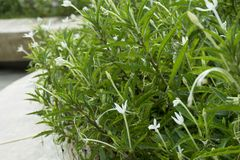 Star of Bethlehem, Madam Fate plant. In nature garden stock images