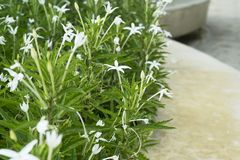 Star of Bethlehem, Madam Fate plant. In nature garden royalty free stock photos
