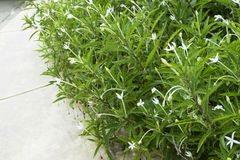 Star of Bethlehem, Madam Fate plant. In nature garden stock photography