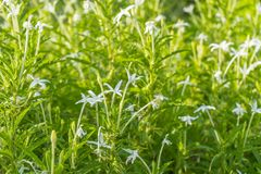 Madam Fate plant in nature garden. Star of Bethlehem, Madam Fate plant in nature garden royalty free stock image