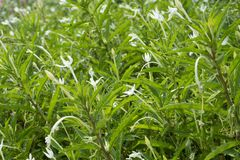 Star of Bethlehem, Madam Fate plant. In nature garden royalty free stock image