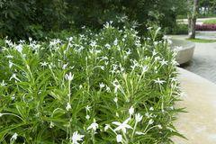 Star of Bethlehem, Madam Fate plant. In nature garden royalty free stock images