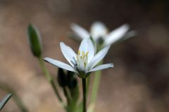 Star-of-Bethlehem (Ornithogalum umbellatum) Stock Photography