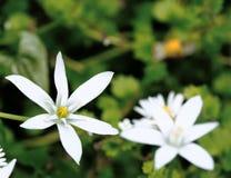 Star of Bethlehem Ornithogalum umbellatum Stock Image