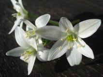 Star-of-Bethlehem white flowers Stock Images