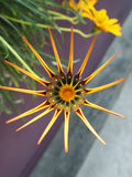 A star is born ... Flower with pointed petals like a star. Intricate details Stock Images