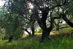 Star burst sun through Old Olive Tree grove Stock Image
