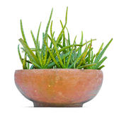 Star cactus, Aloe, Aloin, Jafferabad, Barbados (Aloe vera (L.) B Stock Photography