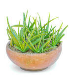 Star cactus, Aloe, Aloin, Jafferabad, Barbados (Aloe vera (L.) B Royalty Free Stock Image