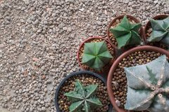 Star cactus Astrophytum species Stock Photos