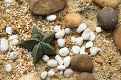 Star cactus round spines spread on the sand.  Stock Images
