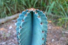 Star cactus Stock Photos