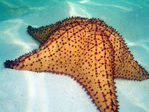 Star of caribe. A nice sea star in the caribbean sea Stock Images