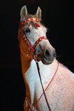 The star of the circus arena. Portrait of a dressage circus horses in light colored spotlights Stock Image