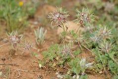 Star Clover. Trifolium stellatum Stock Images