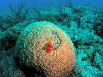 Star Coral and Christmas Tree Worms. Star coral taken in Pompano Beach, Florida Royalty Free Stock Images