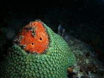 Star Coral at Night royalty free stock photo