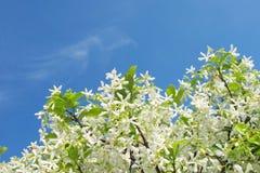 Star el jazmín con el cielo azul Imagenes de archivo