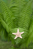 Star in the fern Stock Image