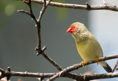 Star Finch Stock Photo