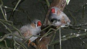 Star finch (Neochmia ruficauda) common to Australia stock video footage