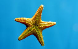 Star fish. Close up of living star fish Stock Images