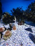 Star fish at the bottom of the fish tank royalty free stock photography