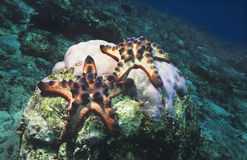 Star fish on coral reef Stock Image