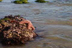 Star fish on rock. Royalty Free Stock Images