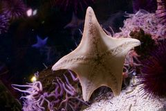 Star Fish. Starfish on underbelly on the side of an aquarium Royalty Free Stock Photos