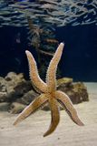 Star fish. In a tank Royalty Free Stock Photos