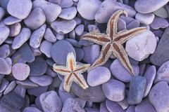 Star fishes Royalty Free Stock Image