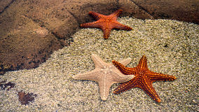 Star fishes on a sand. Close up of three star fishes on a beach sand stock images