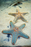 Star fishes on a sand. Close up of two starfishes on a beach sand. Image is in portrait Royalty Free Stock Photos