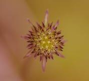 Star flower Royalty Free Stock Photo
