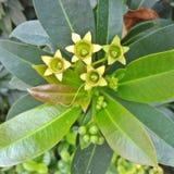 Star Flower Stock Image