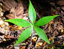 Star flower leaf. A star flower green leaf in the woods of Torrington Connecticut America Stock Images