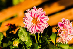 Star Flowers Royalty Free Stock Photos