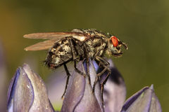 Star Fly. Macro of a fly on a rare cross / star gentian in late summer Royalty Free Stock Photo