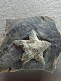 Star fossile. A beautiful rock with a star on it, fósil de una estrella Royalty Free Stock Photo